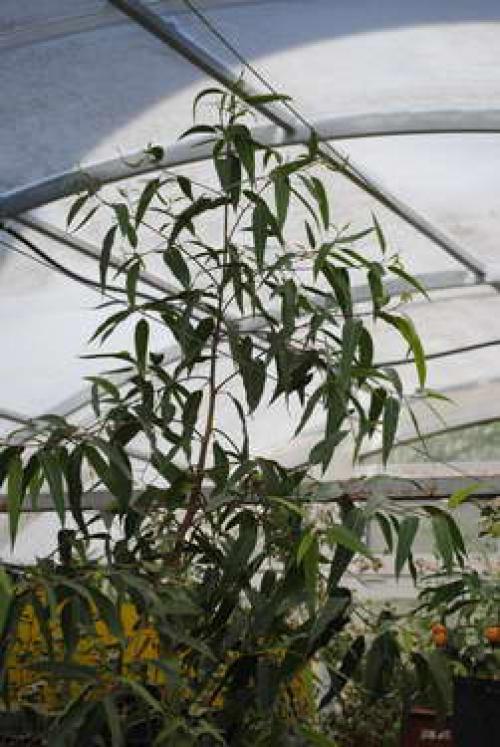Эвкалипт лимонный флагман фото выращивание и уход в открытом грунте 55