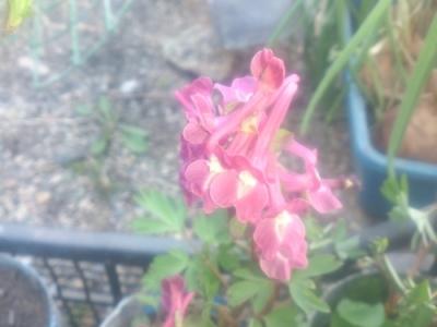 Хохлатка кавказская  ф.красная