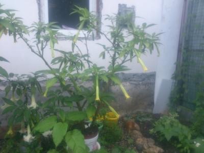 Бругмансия белая   растению 4 года
