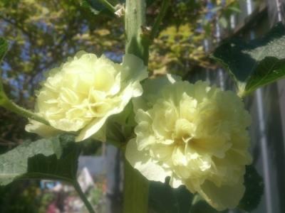 "Мальва,шток роза ""Желтая королева"""