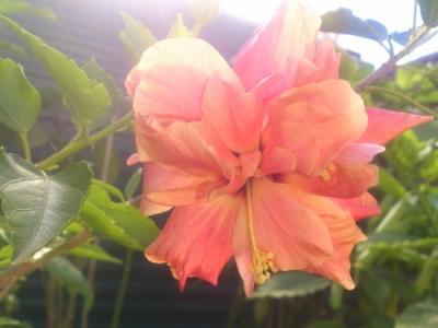 Гибискус китайский, персикового окраса