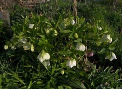Морозник восточный цветы белые