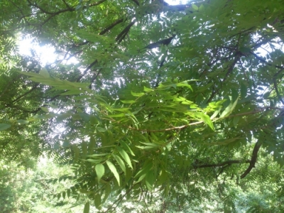 Орех черный лист