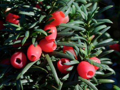 Тис ягодный (европейский)