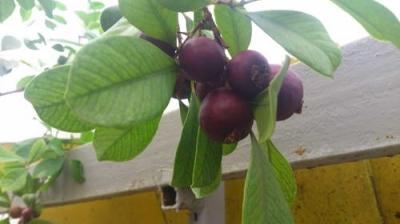 ГУАВА  кеттли (Psidium  cattleianum)