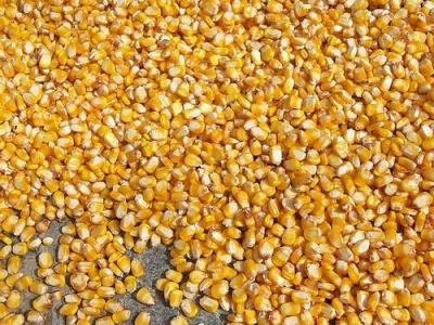 Кукуруза рисовая (поп-корн)