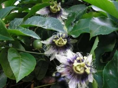 Маракуйя, растению 1 год