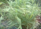Канареечник тросниковый(Tricolor) или Фалярис тростниковый