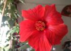 Гибискус китайский (взрослое растение)