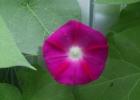 Ипомея розовая