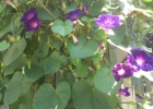 ИПОМЕЯ фиолетовая