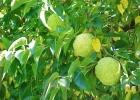 МАКЛЮРА плоды