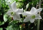 Эухарис амазонский или амазонская лилия