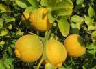 Понцирус трёхлисточковый