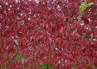 Виноград девичий  пятилисточковый, или виноград виргинский