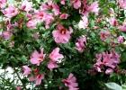 """Гибискус """"Сирийский"""" цвет розовый"""