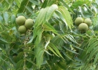ОРЕХ чёрный Настой из плодов молочной спелости 0,5 л.