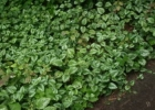 Яснотка зеленчуковая