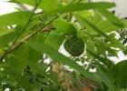 Анно́на чешу́йчатая  высота растения 10 см