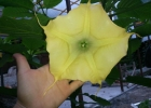 Бругмасия желтая