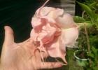 Бругмансия Розовая двойная