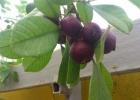 Гуайява  кеттли (Psidium  cattleianum)