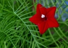 Ипомея квамоклит красный