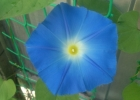 Ипомея голубая