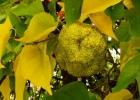 Маклюра, адамово яблоко
