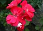 Пеларгония зональная цвет розовый