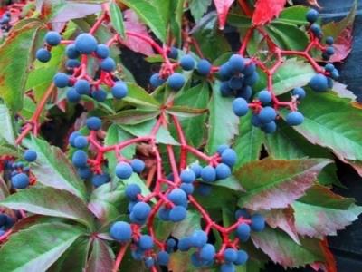 Виноград пятилисточковый, или виноград виргинский