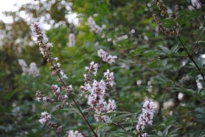 Витекс священный, или Витекс обыкновенный, или Прутняк обыкновенный, или Авраамово дерево, или Монашеский перец